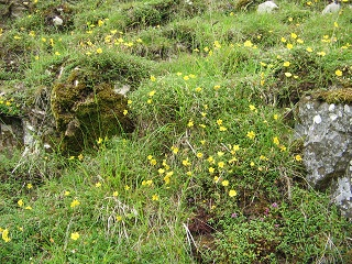 Rock rose and thyme on the slope above Ale Water