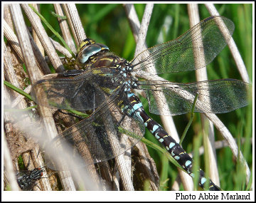 Common Hawker (Aeshna juncea). Photo Abbie Marland