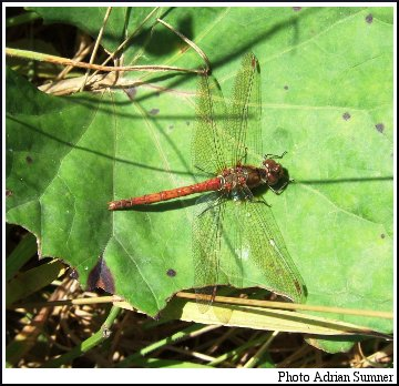 Common Darter (Sympetrum striolatum). Photo Adrian Sumner