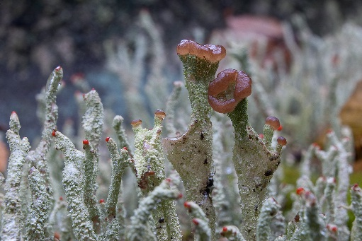 Cladonia.  Photo by S. Buchan
