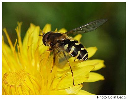 The hoverfly Dasysyrphus venustus, apparently not recorded from Midlothian in recent times