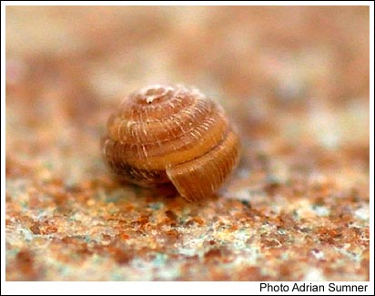 The scarce ancient woodland snail Spermodea lamellata, found in leaf litter in Maggie Bowies Glen