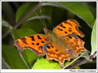 Comma butterfly in Roslin Glen