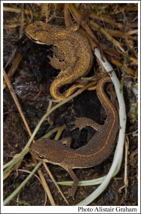 Palmate newts at Harperrig Reservoir