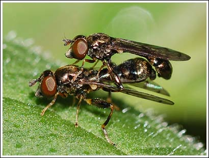 A pair of very small hoverflies, (Neoascia podagrica)