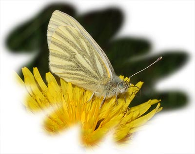 Green-veined white (Artogeia rapae)