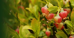 Blaeberry of Bilberry (Vaccinium myrtillus)