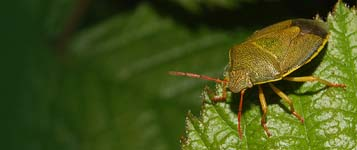 Gorse Shield Bug (Piezodorus lituratus)